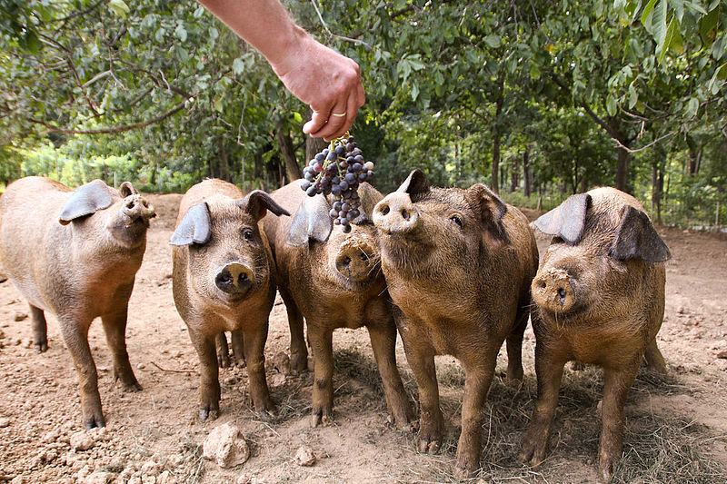 Kogelberger Wollschweine